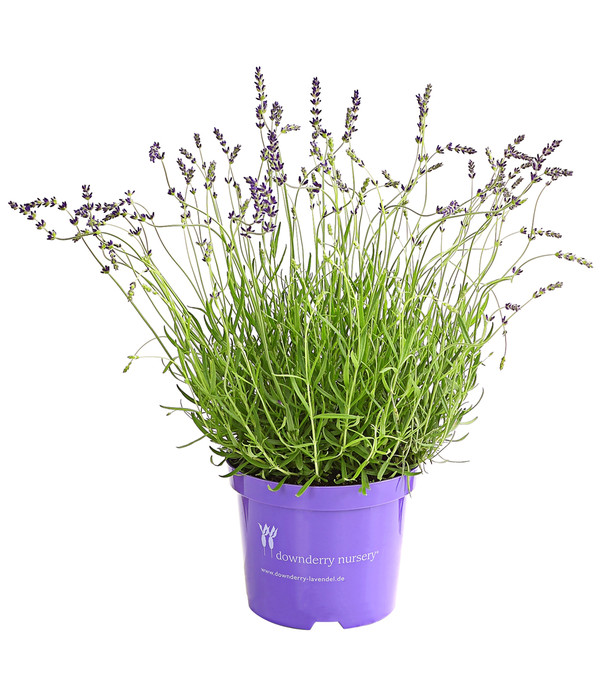 Lavendel 'Miss Dawnderry'