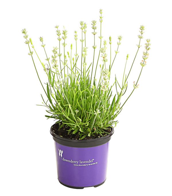 Lavendel 'Nana Alba'