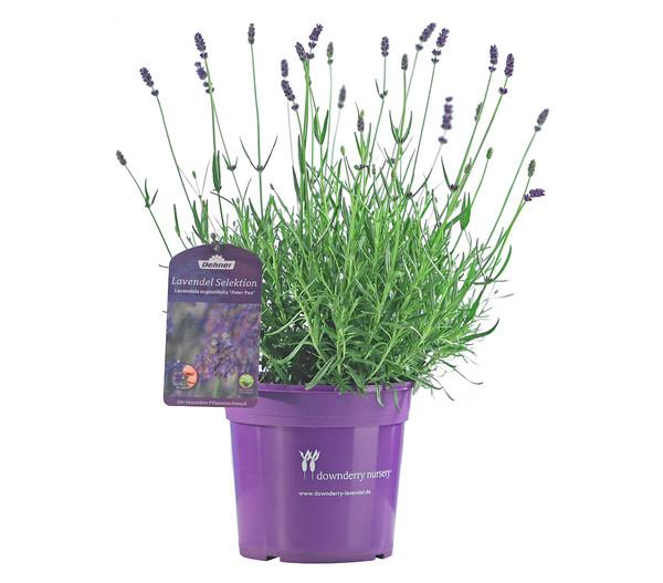 Lavendel 'Peter Pan'