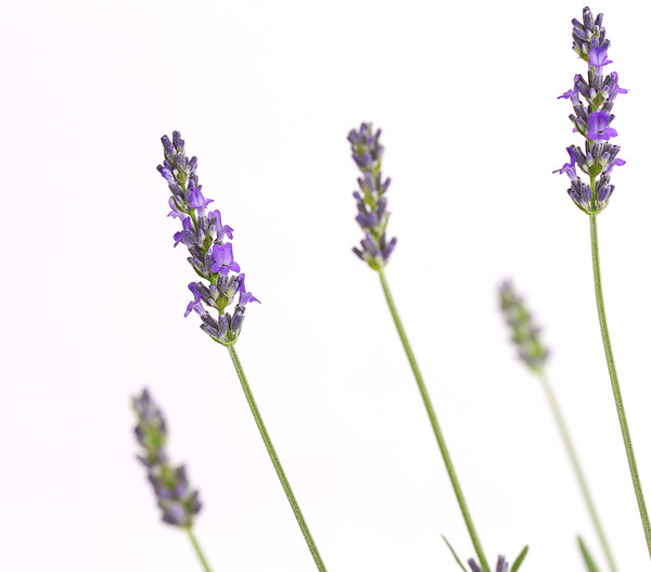 Lavendel 'Richard Gray'