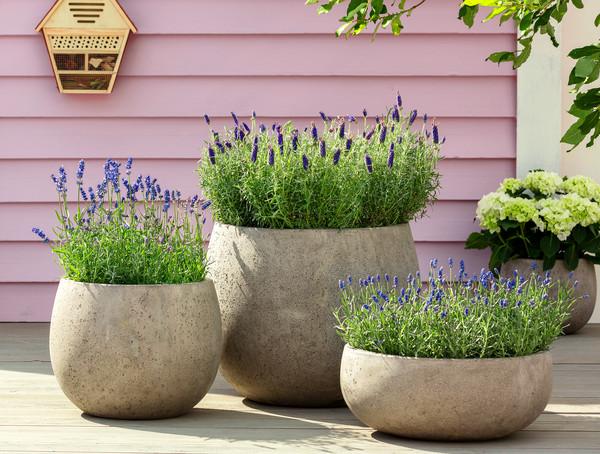 Lavendel 'Royal Blue'