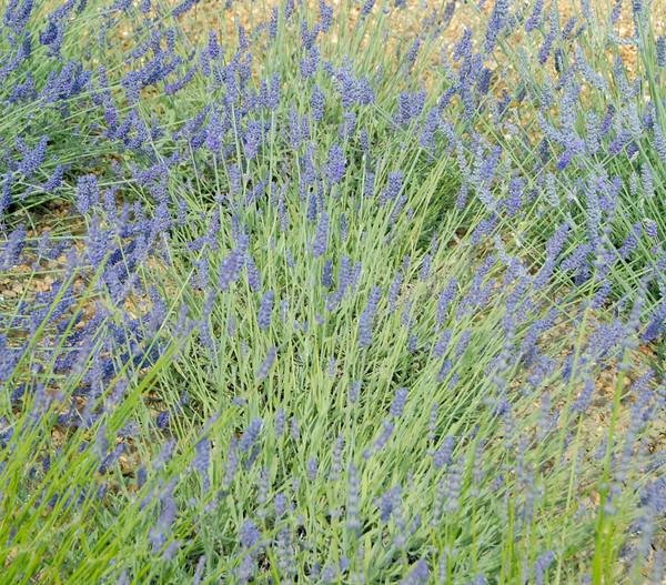 Lavendel 'Silver Sands'