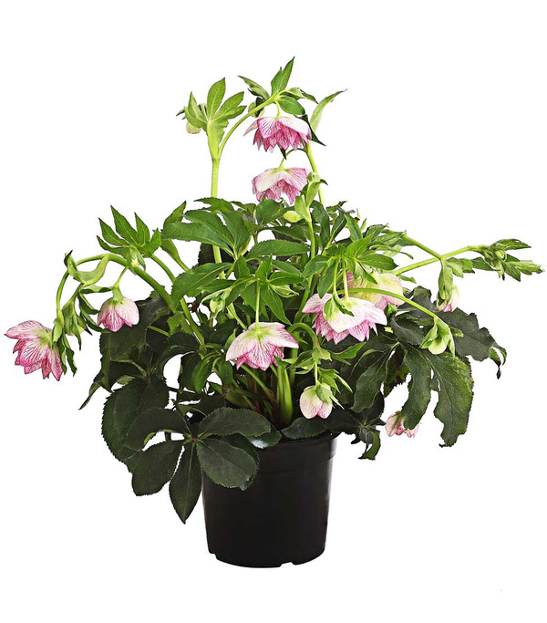Lenzrose 'SP Lily' - Helleborus Gold Collection®