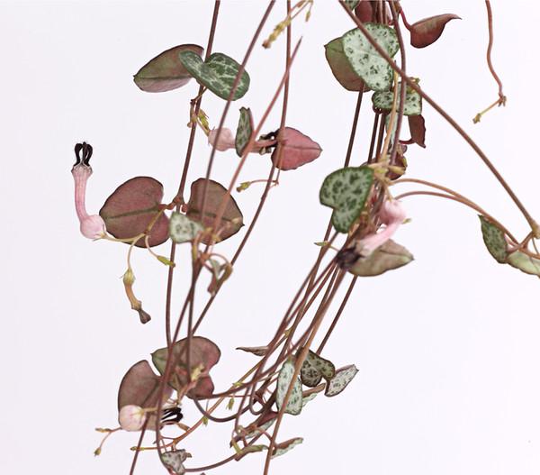 Leuchterblume, Ampel