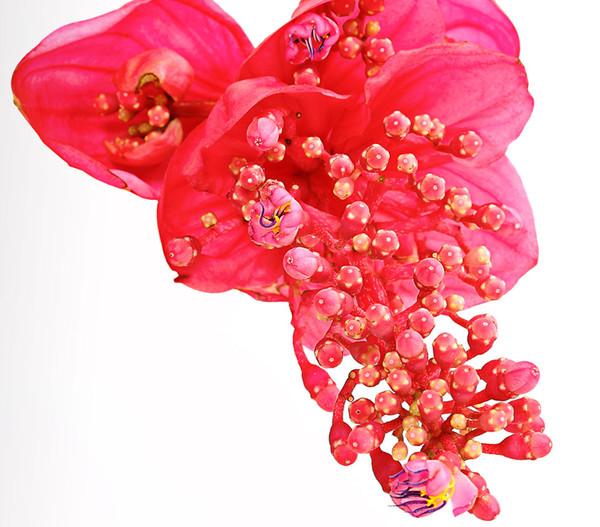 Medinille 'Flamenco'