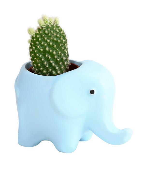 Micro Kakteen und Sukkulenten Mix, in Elefant