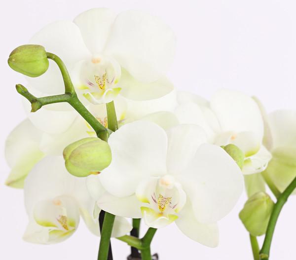 Midi-Schmetterlingsorchidee, im Keramiktopf