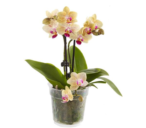 Midi-Schmetterlingsorchidee, Mix