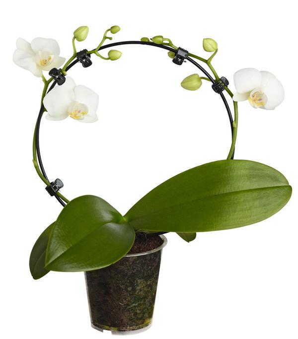 Midi-Schmetterlingsorchidee, Sonderformen