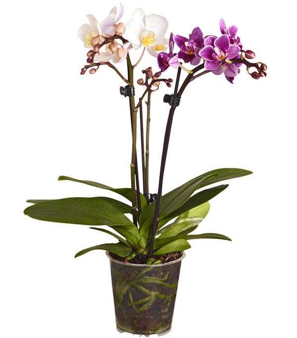 Midi-Schmetterlingsorchidee 'Twin', 3-Trieber