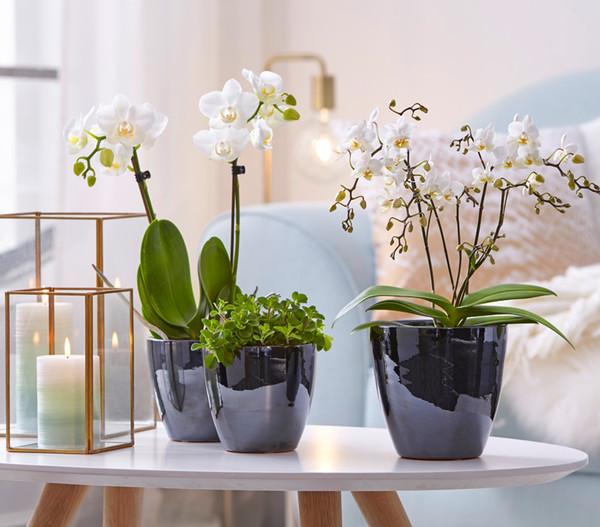 Midi-Schmetterlingsorchidee, weiß