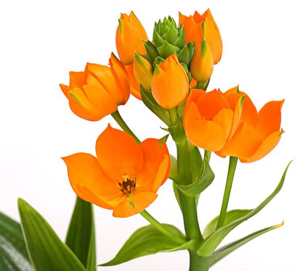 Milchstern, orange
