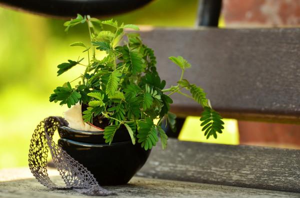Mimose, Sinnpflanze