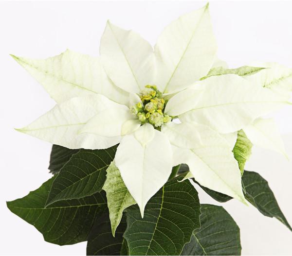 Mini - Weihnachtsstern 'Princettia'®, weiß