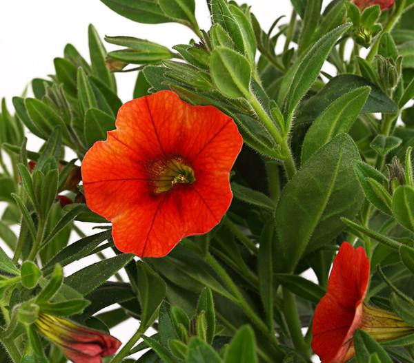 Minihängepetunie, orange