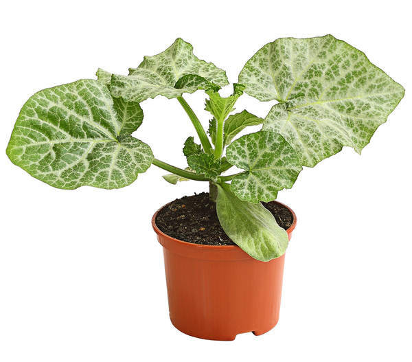 Mini-Muskatkürbis, Pflanze