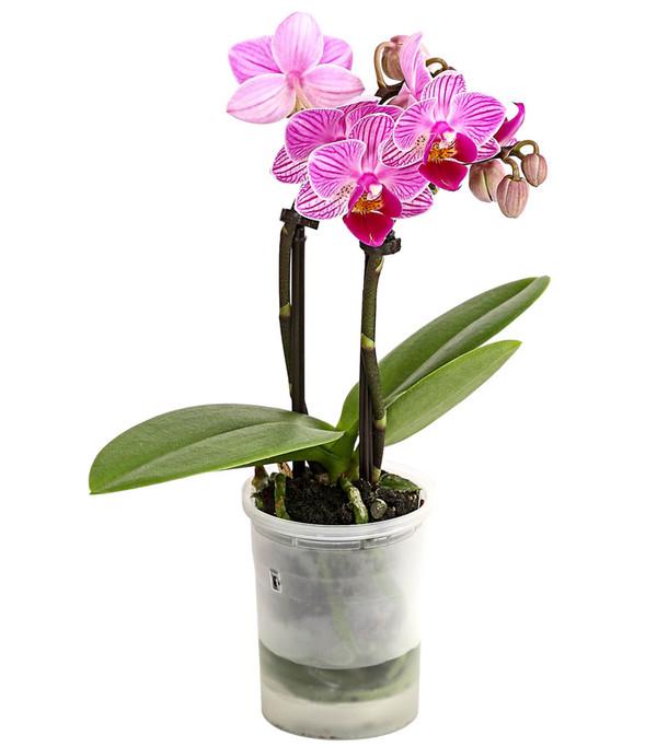 Mini-Schmetterlingsorchidee 'Aqua Orchids®', verschiedene Sorten