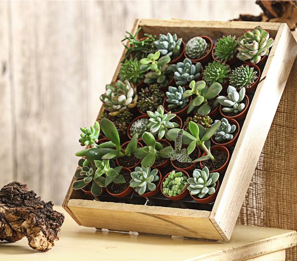 Mini-Sukkulenten, in Holzkiste, 30 Stück