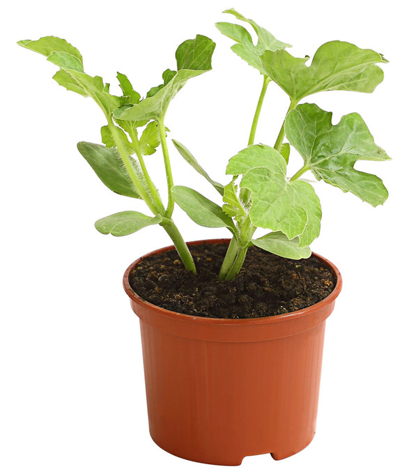 Wassermelone Pflanzen Kaufen : mini wassermelone dehner ~ Watch28wear.com Haus und Dekorationen