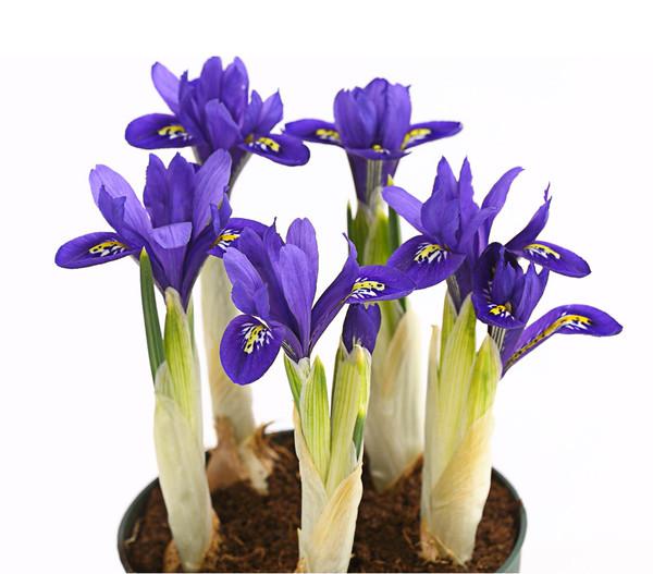 Netz-Iris