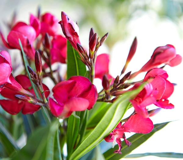 Oleander, Busch, Mix