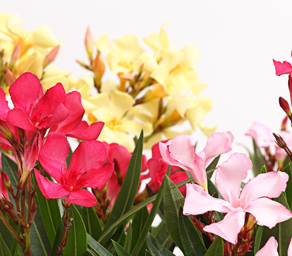 Oleander, Busch 'Trio'