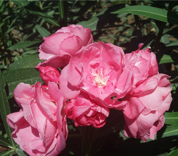 Oleander, gefüllt