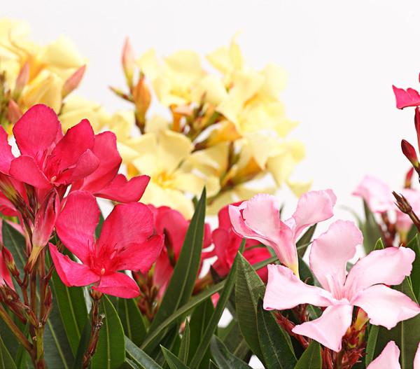 Oleander 'Trio'