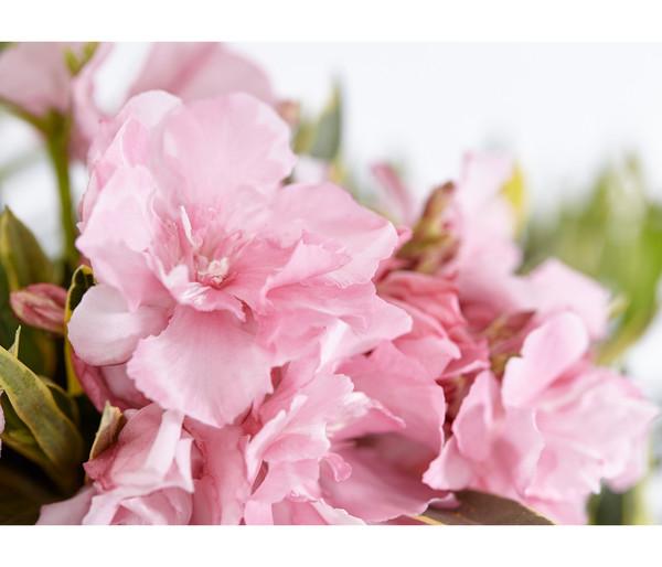 Oleander 'Variegata'