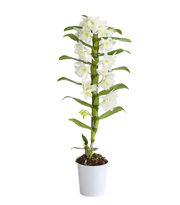 Orchidee, verschiedene Sorten
