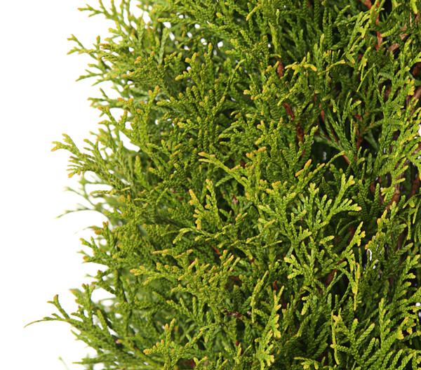 Palette Thuja 'Smaragd' 125 x 3 Liter