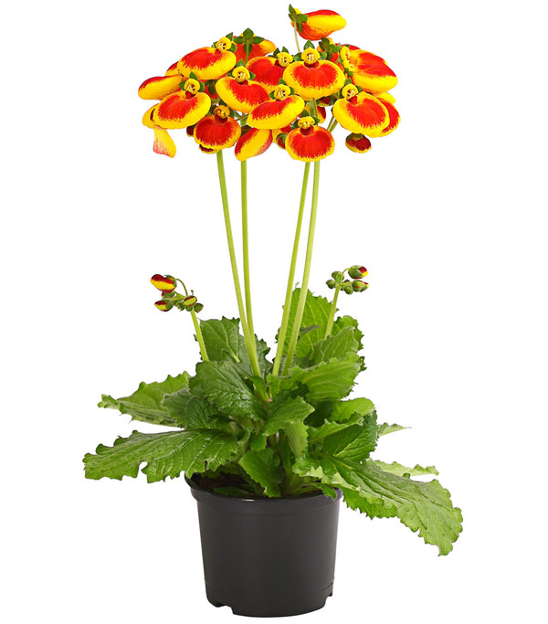 Pantoffelblume 'Calynopsis'