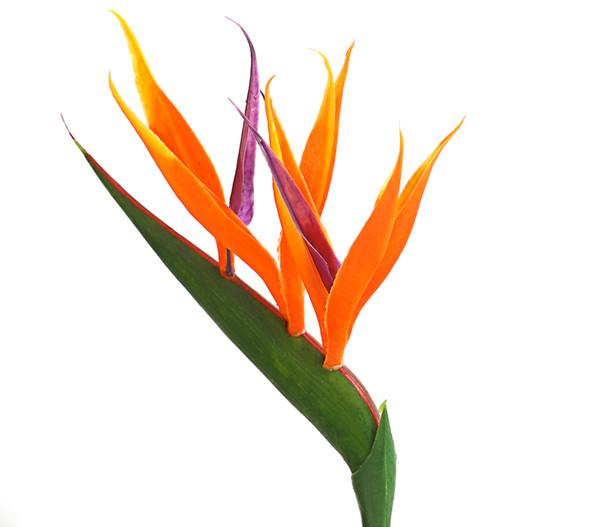 Atemberaubend Paradiesvogelblume | Dehner #KT_25
