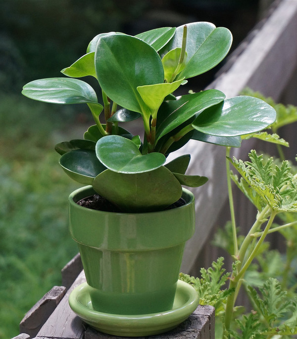 Peperomie - Peperomia obtusifolia