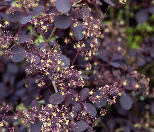 Perückenstrauch 'Royal Purple'