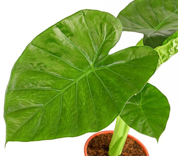 Pfeilblatt - Alocasia calidora