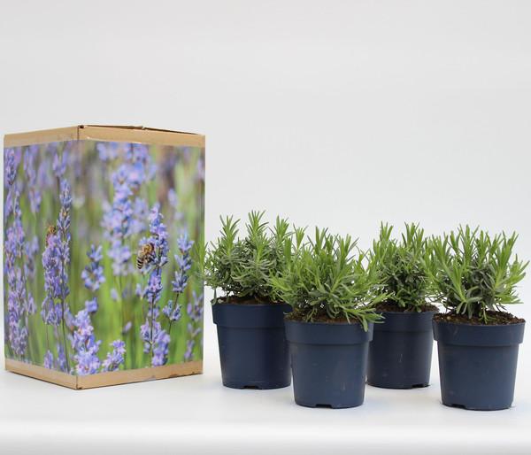 Pflanzenpaket Dehners Bienen-Lavendel, 4er Set
