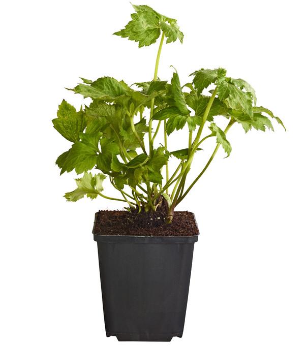 Pflanzenpaket Farbenfrohe Schattenstauden, 12er-Set