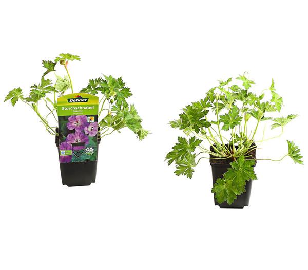 Pflanzenpaket Prachtstauden 'Romantischer Garten', 12er-Set