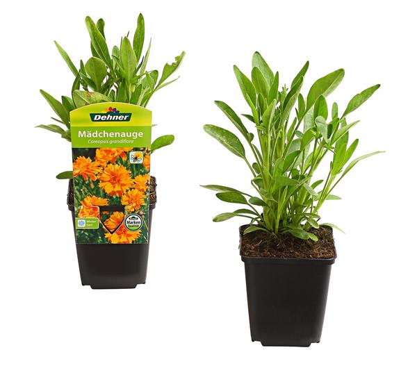 Pflanzenpaket Prachtstauden 'Sommerleuchten', 12er-Set