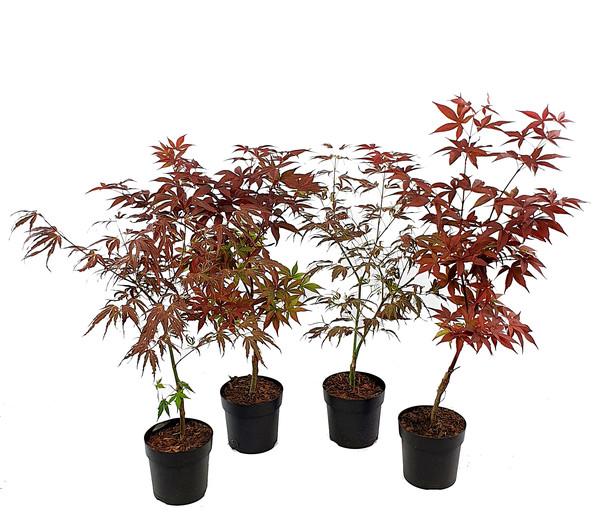 Pflanzenpaket Roter Japanischer Ahorn Mix, 4er Set