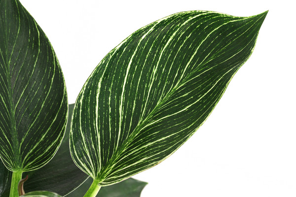 Philodendron - Baumfreund 'White Wave'