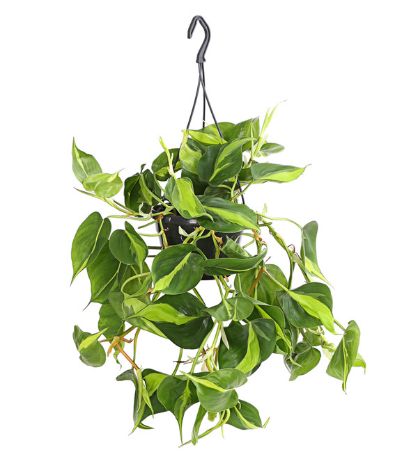 Philodendron 'Brasil', Ampel
