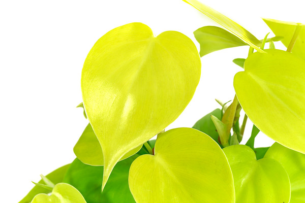 Philodendron 'Lime'