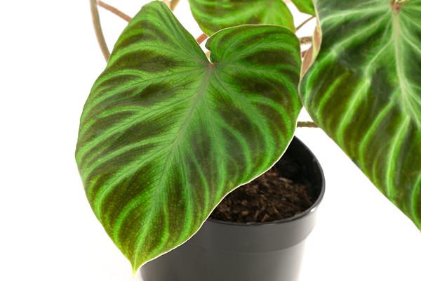 Philodendron verrucosum