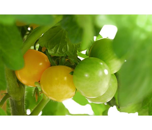 Pick-a-Tom® Cocktailtomate, mit Frucht, gelb