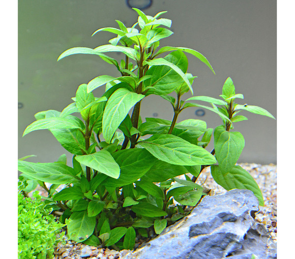 Planet Plants Aquarium Pflanzen, 80er Set
