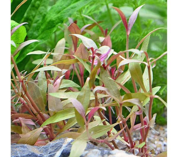 Planet Plants Aquarium-Pflanzen Asien 120er Set