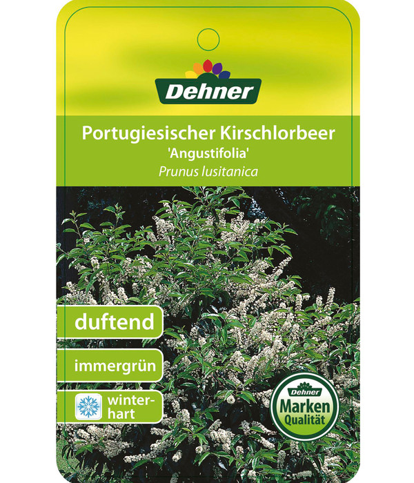 Portugiesische Lorbeerkirsche 'Angustifolia'