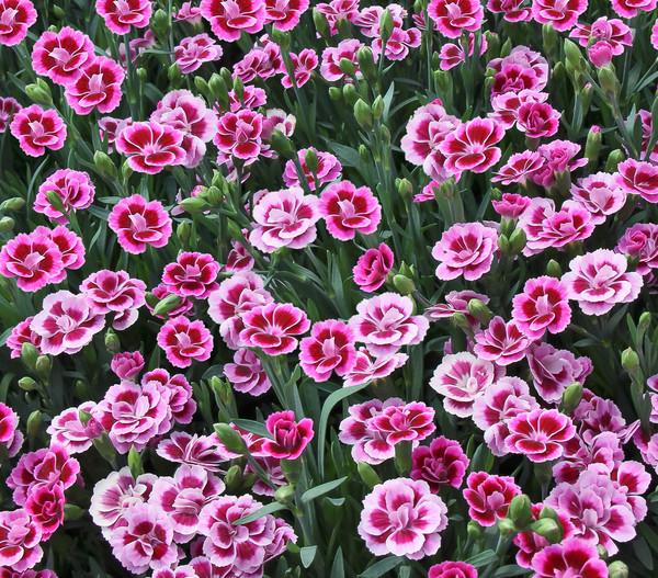 Prinzess-Nelke 'Pink Kisses'® - Schale